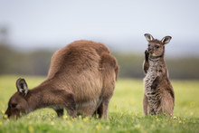 A Joey And Mother Western Grey...