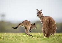 A Joey Western Grey Kangaroo Returning To Its Mother. Macropus Fuliginosus, Subspecies Kangaroo Island Kangaroo.