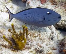 A Sargassum Triggerfish (Xanthichthys Ringens)