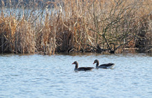 Couple Of Wild Geese Swimming ...