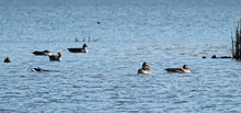 Gaggle Of Wild Geese Swimming ...