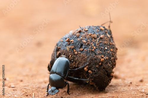 Fotografiet Dung beetle