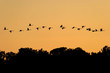 Mute swans flying in sunset over the forest Crna Mlaka