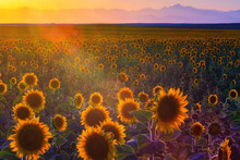 A Sunflower Field Is Covered I...