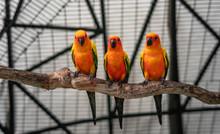 Group Of Sun Conure, Parrot Bi...