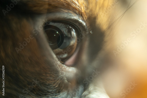 Fototapeta Cute little brown chihuahua puppy close up of eyes. obraz