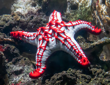 Red Knob Sea Star In Aquarium