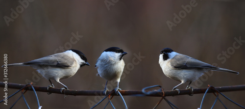 Fototapeta Three Willow tits on a mesh fence, on a blurry brown background