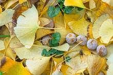 Fallen Yellow Leaves And Fruits Of Ginkgo Biloba, Maidenhair Tree.
