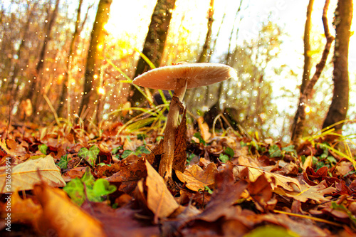 Fotografie, Obraz  Magic mushroom in the middle of a carpet of dry leaves