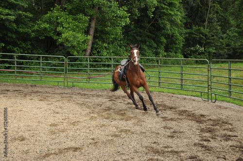 Fototapeta Horse lunging obraz