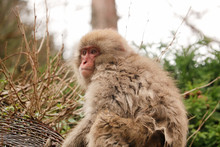Snow Monkey Looking Left