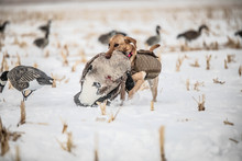 Dog Carrying Goose Outside Hunting Waterfowl