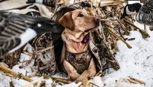 Dog In Corn Hunting Waterfowl ...