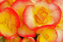 Close-up Of Red And Yellow Begonias Showing Their Textures, Patterns And Details