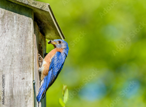 Male eastern blue bird at nest box with insect food with open  space green backg Fototapet