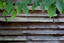 Old Weathered Barn Wall With Overhanging Green Leaves