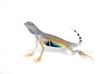Zebraschwanzleguan (Callisaurus Draconoides) - Zebra-tailed Lizard