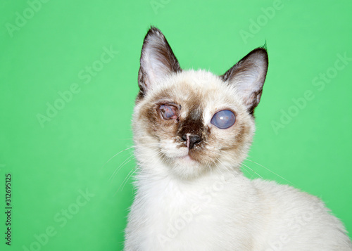Fotomural Portrait of an adorable seal point siamese kitten with bilateral cataracts facing directly towards viewer