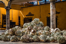 Blue Agave Pineapples Lay In A...