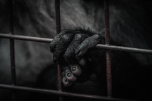 Monkey Holding A Grid Of Her Cage