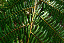 A Close Up Of The Leaves Of A New Zealand Tree Fern