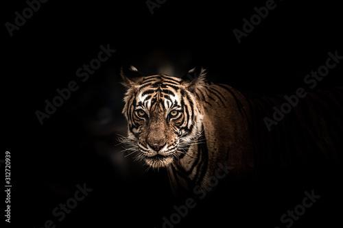 Fine art image of ranthambore wild male tiger at ranthambore national park, rajasthan, india