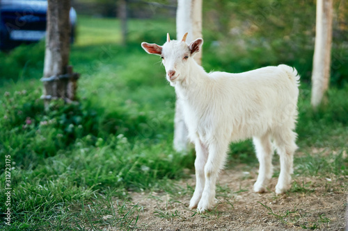 Foto white goat on a meadow