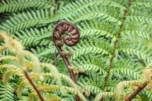 Detail Of Unfurling New Zealand Silver Fern Frond With Copy Space