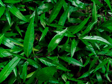 Nature View Of Dark Green Trop...