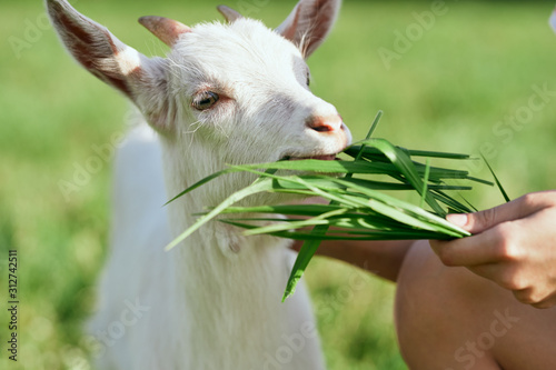 Leinwand Poster White goat chewing grass
