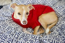 An Italian Greyhound In Red Sweater Resting