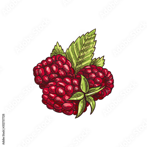 Fényképezés  Raspberries and green leaves isolated sketch
