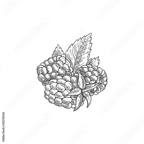 Vászonkép  Raspberries and green leaves isolated sketch