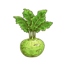 Turnip-shaped Green Cabbage Ko...