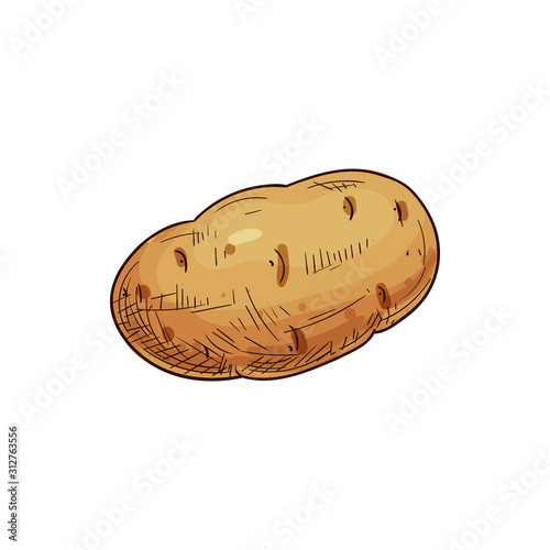 Fotografija Young or old potato isolated vegetable sketch