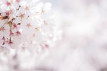 満開の桜 ソメイヨシ