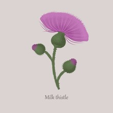 Milk Thistle With Purple Flowering On A Gray Background. Prickly Weed, Medical Herb, Honey Plant.