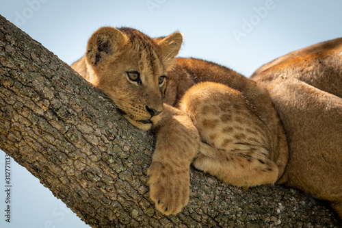 Lion cub lies looking out from tree Tableau sur Toile