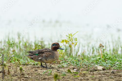 Photo A Eurasian Teal walking in the meadow on a sunny day in autumn
