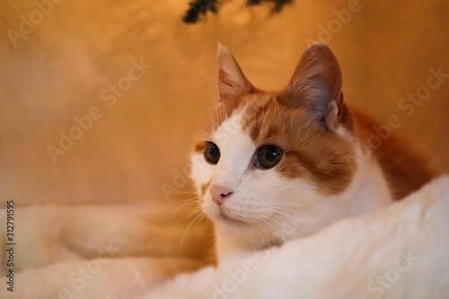 Orange Cat Looking Ahead