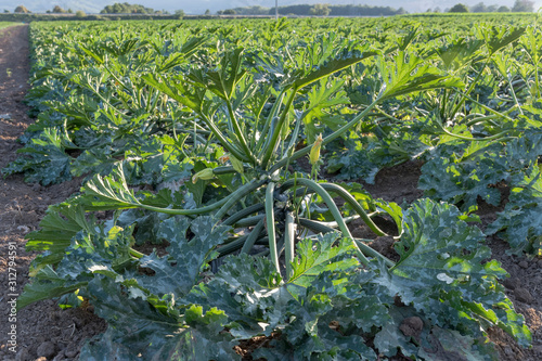Photo courgettes cultivation, Agri valley, Italy