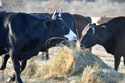 Black Angus Cattle on a Ranch Wallpaper Mural