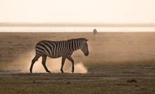 Zebra In Africa