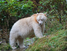 Spirit Bear Salmon Alert - A Spirit Bear (known As Boss) Is Alerted To Its Next Meal As A Salmon Splashes In The Creek. Reordan Creek, Great Bear Rainforest, British Columbia, Canada.