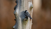 Black-capped Chickadee On A Tree