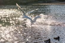 白鳥の来る街 仙台