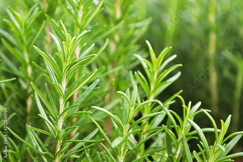 Background of green fresh rosemary herb bunches Fototapet