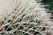 White Long Thorns Of Cactus Pl...