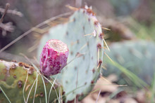 Prickly Pear Cactus And Fruit